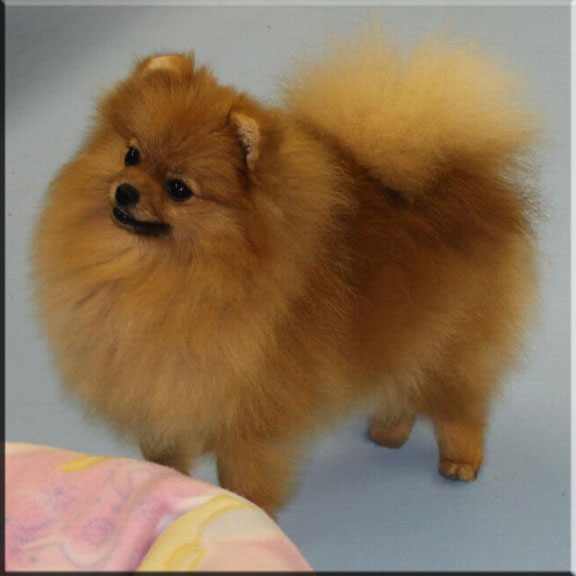 Chars Pomeranians Our Girls